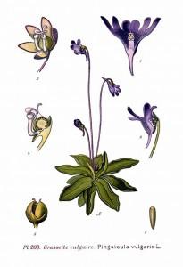 208_Pinguicula_vulgaris_L
